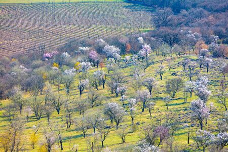 Blooming orchard on the mountain in early spring. Nature background