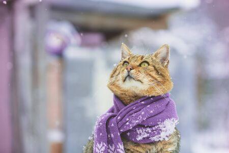 The cat wearing scarf outdoors in snowy winter Zdjęcie Seryjne
