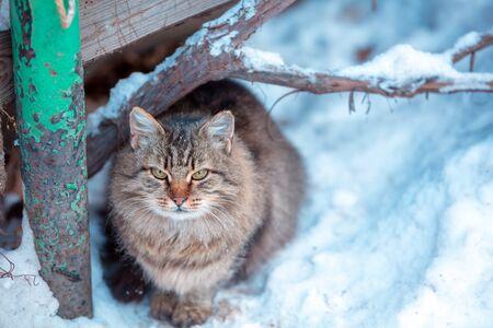 Siberian cat sitting outdoors in snow in winter Zdjęcie Seryjne