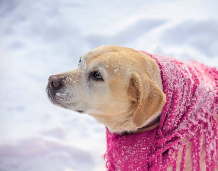 Portrait of Labrador retriever dog in a red shawl and sitting outdoors in snowy winter Stock Photo