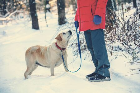A man with a Labrador Retriever dog walks outside in the forest in a snowy winter