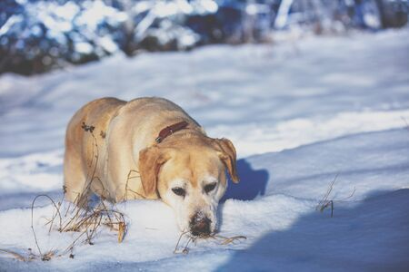 Labrador retriever dog hunting outdoors in winter snowy forest