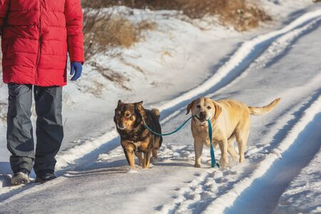 Man with two dogs walks on the snowy road. A yellow Labrador Retriever dog leads a mongrel dog on a leash