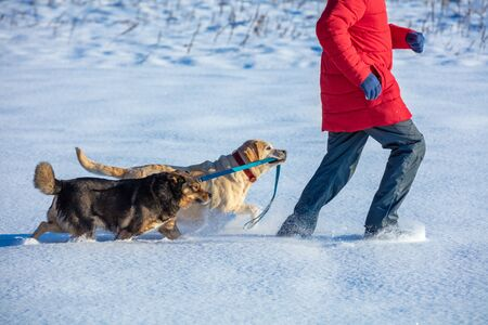 Man with two dogs walks on the snowy field. A yellow Labrador Retriever dog leads a mongrel dog on a leash