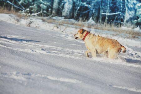 Labrador retriever dog running in the snowy field near a forest in deep snow in winter
