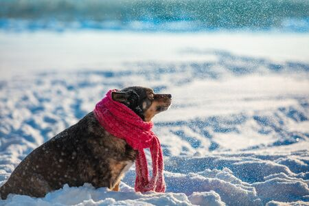A dog with a knitted scarf tied around his neck sits on a snowy field in a blizzard