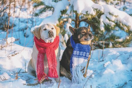 Yellow Labrador retriever dog and brown-black dog sitting together outdoors in a snowy forest in winter. Dogs wearing knitted scarves