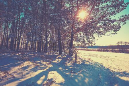 The edge of the pine forest on a winter sunny day. Snowy forest. Pine trees covered with snow. Winter nature. Nature winter background.  Christmas background.