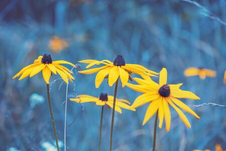 Vintage blooming Rudbeckia hirta (Black-eyed Susan) flowers in the summer garden. Nature background Stok Fotoğraf