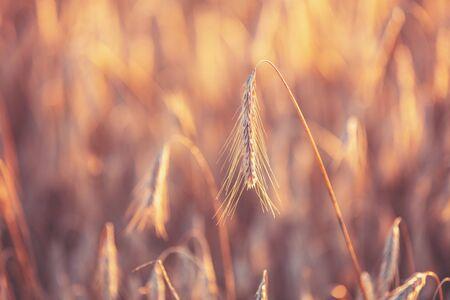 Wheat field at sunset. Beautiful nature