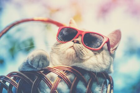 Portrait of a funny cat wearing sunglasses lying in a basket outdoors in summer. Cat enjoying summer and looking at the sun 版權商用圖片