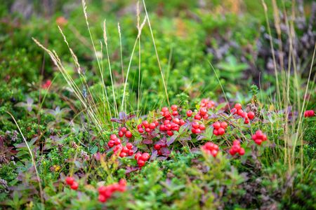 Lingonberry (Vaccinium vitis-idaea) growing in a swamp. Nature background