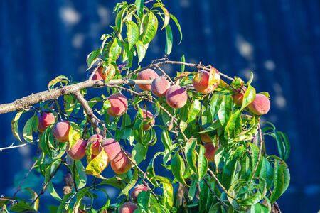 Peach on a branch in the garden. Nature background. Collection of ripe peaches