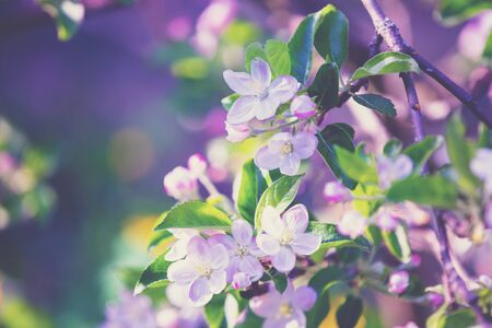 Blossoming apple tree branch. Spring natural background Imagens