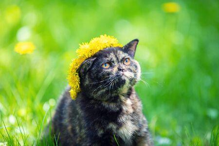 Beautiful little tortoiseshell kitten crowned a wreath of dandelion flowers sitting on the grass in a summer garden