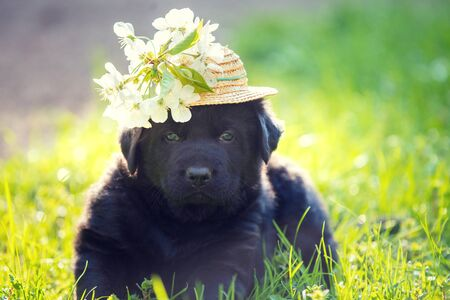 Labrador puppy dressed in a straw hat with flowers. Puppy walking on the grass on a summer sunny day