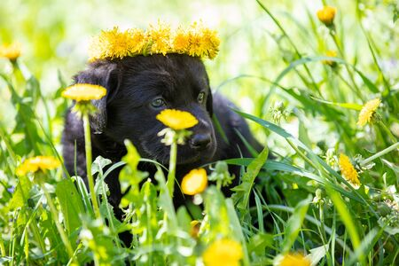 Little black labrador puppy sitting on the grass in the summer. Dog crowned dandelion flower wreath
