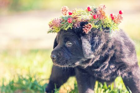 Little black labrador puppy wearing Christmas wreath