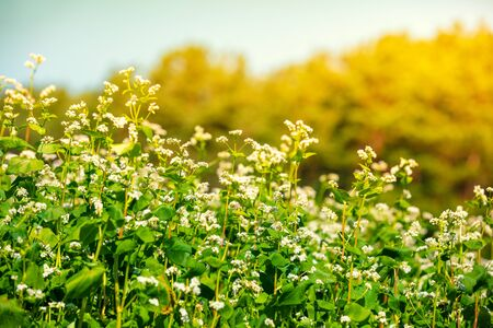 Rural landscape. Blooming buckwheat fields in the summer. Nature background 版權商用圖片