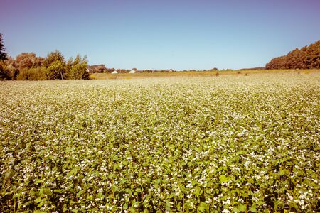 Buckwheat field against the blue sky. Rural landscape. Farmland in the summer. Nature in the countryside