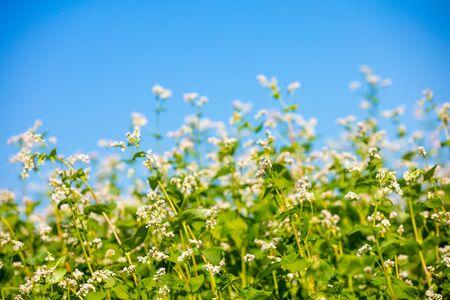 Blooming buckwheat field against the blue sky 版權商用圖片