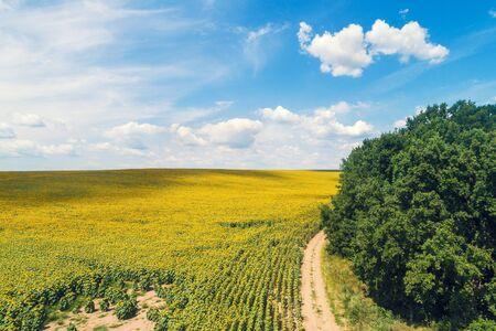 Camino de tierra rural a lo largo del campo de girasoles. Pintoresco campo de girasoles, vista superior. El paisaje rural en un día soleado de verano. Fondo de la naturaleza Foto de archivo