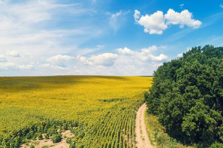 Strada sterrata rurale lungo il campo di girasoli. Campo di girasoli pittoresco, vista dall'alto. Il paesaggio rurale in una giornata di sole estivo. Sfondo della natura Archivio Fotografico