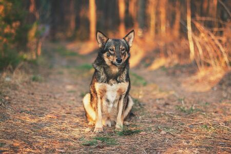 Wolf hybrid dog sitting on a clearing in the autumn forest. Portrait of a dog walking outdoors Zdjęcie Seryjne