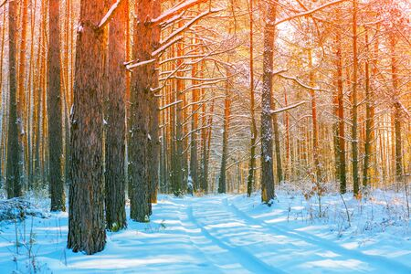 Snowy forest on a sunny day. Pine trees covered with snow. Winter nature. Nature winter background. Christmas background Archivio Fotografico