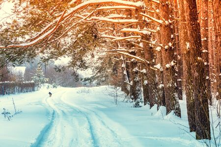 The snow-covered road along a pine forest in winter. Trees are covered in snow. Rural nature landscape on a sunny day. Dog walking on the road