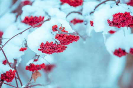 Branches with bunches of rowan covered with rime. Winter nature background