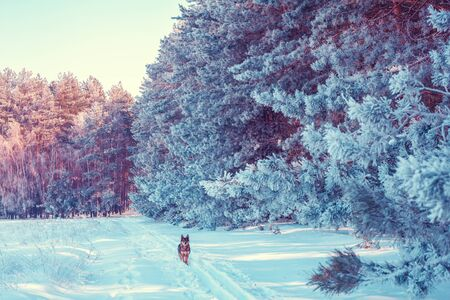 A dog stands on a snow-covered road near a pine forest.