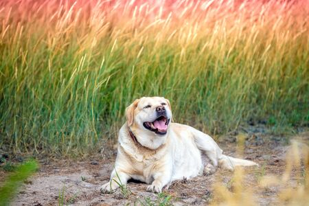 Labrador retriever dog lying on a field in summer at sunset Reklamní fotografie
