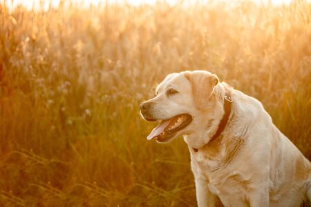 Labrador retriever dog sitting on a wheat field at sunset