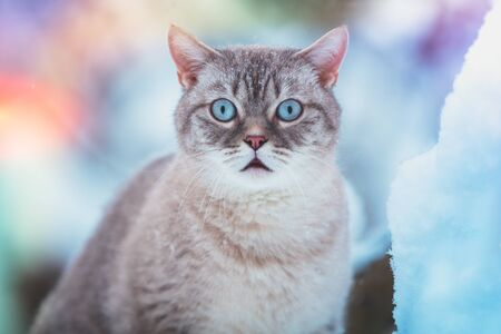 Cat sitting in the snow. Portrait of siamese cat outdoors in a park in winter