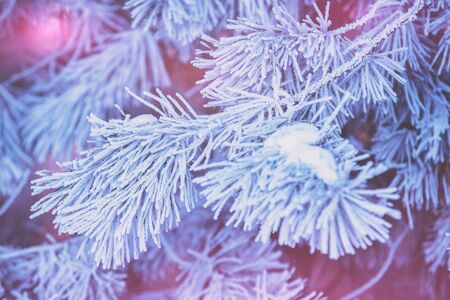Pine branches covered with hoarfrost. Natural winter background. Winter nature. Snowy forest. Christmas background
