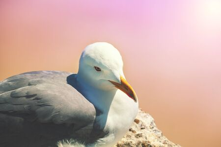 Portrait of a seagull on a pink background