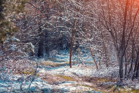 Nature winter background. Snow forest in early spring