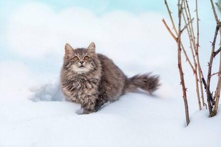Cat outdoors in winter. Siberian gray cat walking in the snow in winter