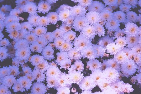 Blooming chrysanthemums in the garden. Nature Background. Gradient Color