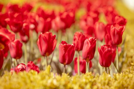 Red tulips blooming in the garden on a sunny day Imagens