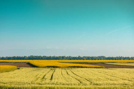 View of the field with young wheat and blossoming rapeseed on a sunny day. Farmland, rural landscape.