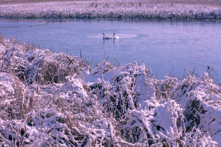 Couple of swans swim in the frozen lake in winter