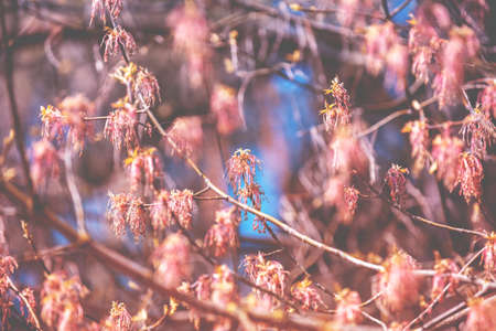 Branches with young leaves and catkins in early spring. Nature background Stock Photo