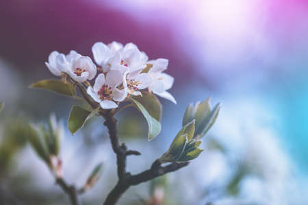 Branch of a blossoming pear tree. Spring nature background
