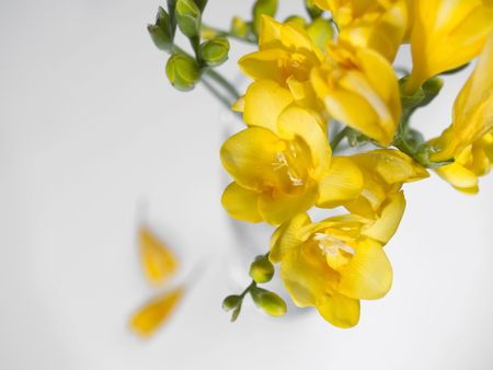 Yellow flowers at white background Stock Photo - 370038
