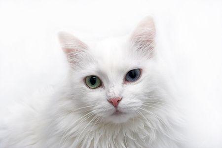 Angora cat Stock Photo - 383818