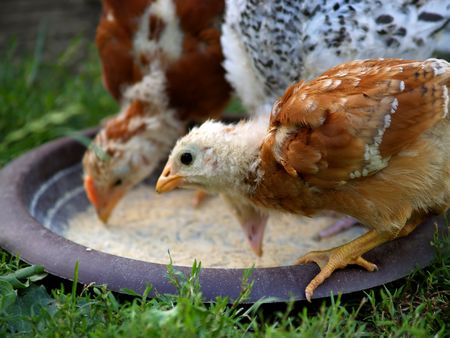 Two free range chickens eating. Stock Photo