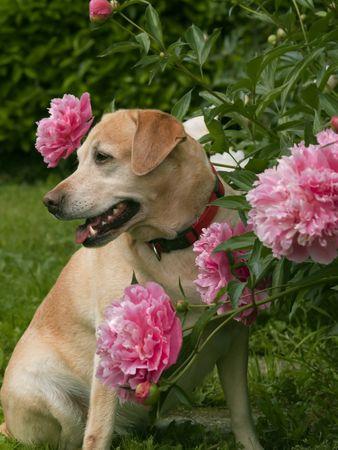 perro labrador: Labrador perro sentado entre peonías  Foto de archivo