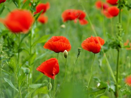 Red poppy flowers at green field